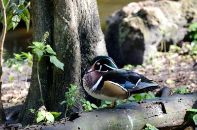 This just happened accorrding to Evolutionist   Wood Duck by Dan