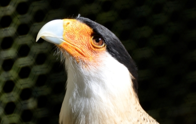 Crested Caracara - Dan's at Flamingo Gardens