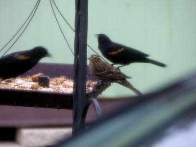 First Birds of 2015 - 1 BT Grackle-2 M Dove-3 Redwing Blkbd (19)c
