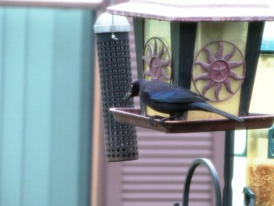 First Birds of 2015 - 1 BT Grackle