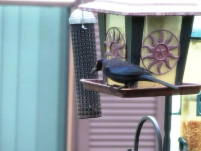 First Birds of 2015 - 1 BT Grackle