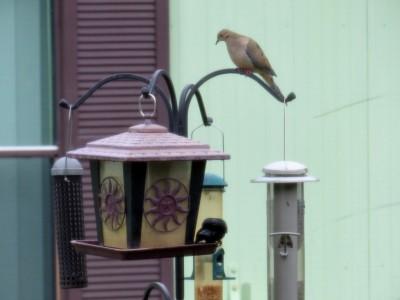 First Birds of 2015 - 1 BT Grackle-2 M Dove-3 Redwing Blkbd (3)c