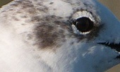 Ft DeSoto 11-22-12 Thanksgiving Laughing Gull Eye