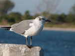 Laughing Gull at Ft DeSoto by Lee