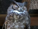Great Horned Owl at Flamingo Gardens by Lee