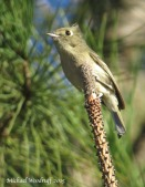 Hutton's Vireo by Michael Woodruff