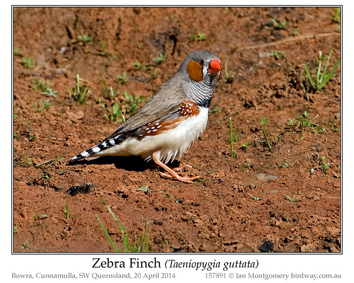 PAS-Estr Zebra Finch (Taeniopygia by Ian
