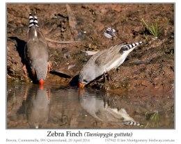 Ian's Bird of the Week – ZebraFinch