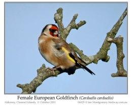 Ian's Bird of the Week – EuropeanGoldfinch