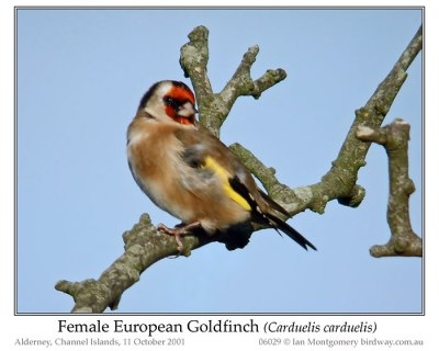 European Goldfinch (Carduelis carduelis) Female by Ian