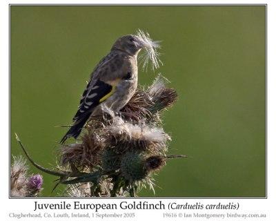 PAS-Frin European Goldfinch (Carduelis carduelis) Juvenile by Ian