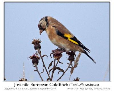 European Goldfinch (Carduelis carduelis) Juvenile by Ian