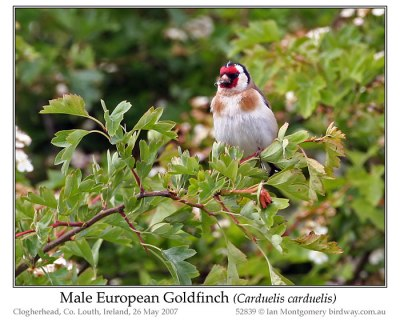 European Goldfinch (Carduelis carduelis) Male by Ian