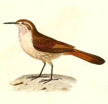 Straight-billed Earthcreeper (Ochetorhynchus ruficaudus) ©Drawing WikiC