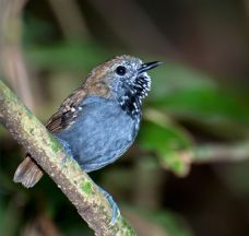 Star-throated Antwren (Rhopias gularis) ©WikiC