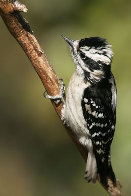 Downy Woodpecker (Picoides pubescens) Female-lacks red patch on back ©WikiC