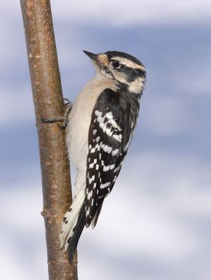 Downy Woodpecker (Picoides pubescens) Female ©WikiC