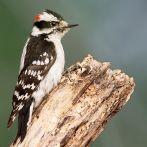 Downy Woodpecker (Picoides pubescens) Male ©WikiC