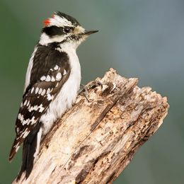 Downy Woodpecker Building A Nest