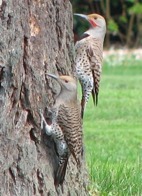 Northern Flicker (Colaptes auratus) red-shafted F-left M-right ©WikiC