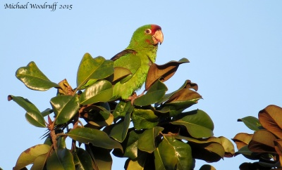 Red-masked Parakeet by Michael Woodruff