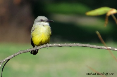 Tropical Kingbird By Michael Woodruff