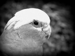 5 Day Black and White Photo Challenge #3 –Galah