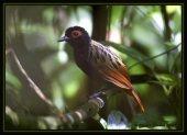 Black-spotted Bare-eye (Phlegopsis nigromaculata) ©R S Scanlon