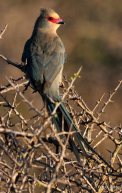 Red-faced Mousebird (Urocolius indicus) ©Our Rumbling Ocean