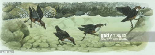 Dipper under water by Getty Images