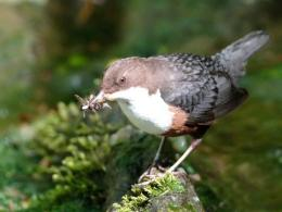 European Dipper, Norway's National Bird