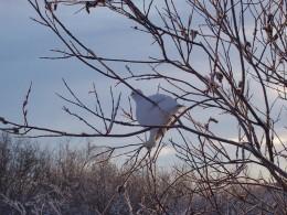 Winter Willow Ptarmigan