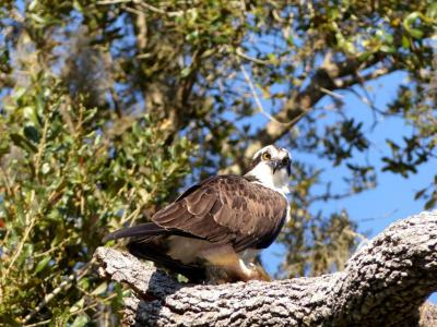 Osprey at Circle B by Lee