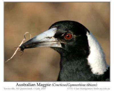 Australian Magpie (Gymnorhina tibicen) by Ian