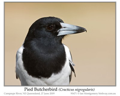 Pied Butcherbird (Cracticus nigrogularis) by Ian