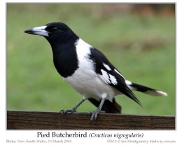 Ian's Bird of the Week – Pied Butcherbird