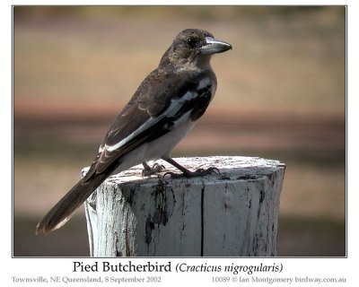 PAS-Arta Pied Butcherbird (Cracticus nigrogularis) by Ian 5
