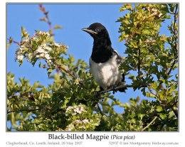 Ian's Bird of the Week – Common/Black-billed Magpie