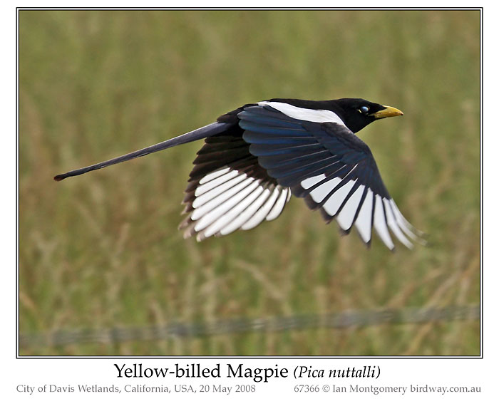 Black-billed Magpie (Pica hudsonia) by Ian