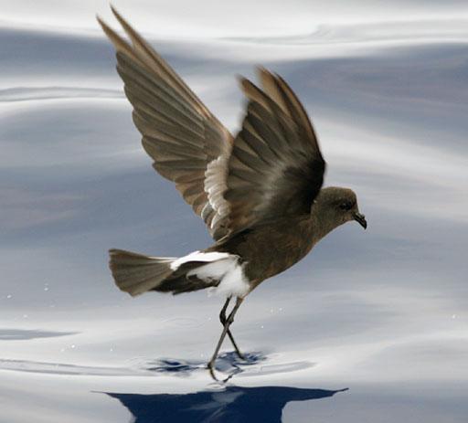 Wilson's Storm Petrel (Oceanites oceanicus) ©WikiC