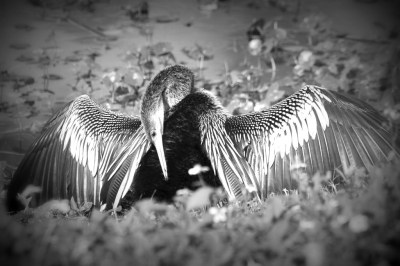 Anhinga (Anhinga anhinga) Female at Vierra Wetlands By Dan'sPix B-W