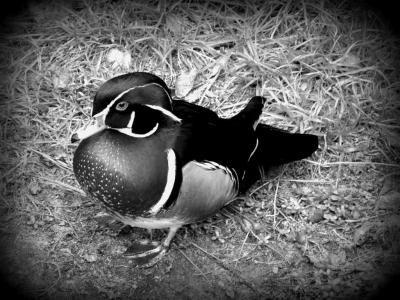 Wood Duck Brevard Zoo 120913 by Lee BW