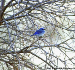 BLUE BIRD - JOHN, KAREN HOLLINGSWORTH - CROPPED # 2