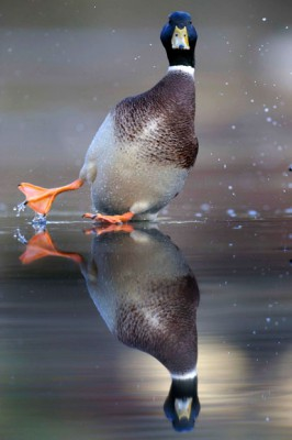 Duck slipping on Ice from the Telegraph