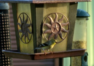 Goldfinches at Feeder - avoiding the crowd