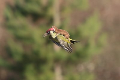 Green Woodpecker with Weasel On Its Back ©Martin Le-May