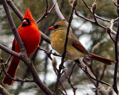 Northern Cardinal (Cardinalis cardinalis) Male and Female ©Crooks Bridge