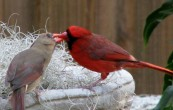 Northern Cardinal (Cardinalis cardinalis) Male and Female ©WikiC