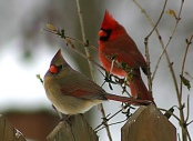 Northern Cardinal (Cardinalis cardinalis) Male and Female ©WikiC