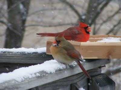 Northern Cardinal (Cardinalis cardinalis) Male and Female ©Zanawer